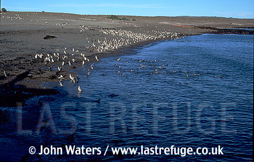 Magellan Penguins (Spheniscus magellanicus) : scenic, many Penguins at water's edge, sea foreground, gravel beach background, Punta Tombo, Patagonia, Argentina, South America
