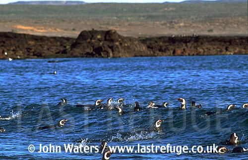 Magellan Penguins (Spheniscus magellanicus) : adults swimming in sea, riding wave, coastal background, Punta Tombo, Patagonia, Argentina, South America