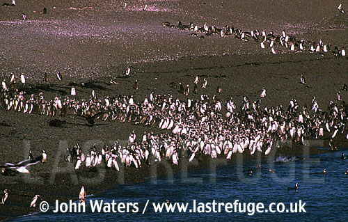 Magellan Penguins (Spheniscus magellanicus) : many adults and first year juveniles at water's edge, sea shore, Punta Tombo, Patagonia, Argentina, South America