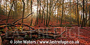 Panorama: Beech Forest (Fagus sylvatica), Autumn, Burnham Beeches, UK