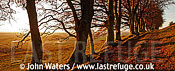 Panorama: Line of Beech Trees (Fagus sylvatica), Autumn, on Mendip Scap, Somerset, UK