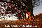 Line of Beach trees (Fagus sylvatica), Autumn, Mendip Hills, Somerset, UK