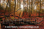 Burnham Beeches (Fagus sylvatica), Autumn, UK