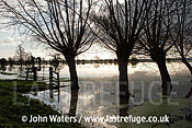 Flooded Willows, Tadham Moor, Somerset Levels, UK