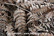Frosted Bracken (Pteridium aquilinum), UK