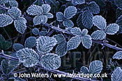 Frosted Brambles (Rubus fruticosus), Somerset, UK