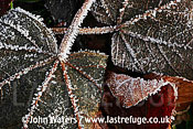 Frosted leaves, UK