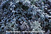 Frosted vegetation Somerset, UK