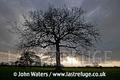 Lone Oak Tree, Somerset, UK