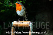 Robin (Erithacus rubecula) perched on garden fork, UK