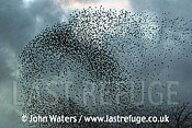 Flock of Starlings (Sturnus vulgaris) approaching roost, Somerset, UK
