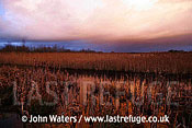 Westhay Reedbeds, Disused Peat diggings, Somerset Levels, UK