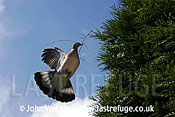 Wood Pigeon (Columba palumbus) flying to nest with