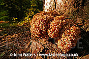 Cauliflower Fungus (Sparassis crispa), Bialowieza National Park, Poland
