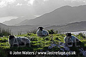 Sheep, Connermara, County Galway, Ireland