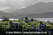 Sheep, Connermara, County Galway, Ireland