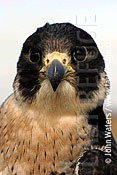 Peregrine Falcon (Falco peregrinus), Portrait, Captive bird, Somerset, UK