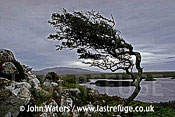 Windblown Thorn Tree, Roundstone Bogs, Connemara, County Galway, Ireland