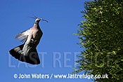 Wood Pigeon (Columba palumbus), flying with nesting material, Somerset, UK