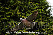 Wood Pigeon (Columba palumbus), in flight, Somerset, UK