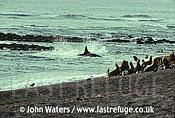 Killer whale attacking sea lions, Peninsula Valdes, Patagonia, Argentina