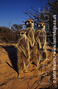 Meerkat standing up (Suricata suricatta) : three adults together, standing at attention, basking in morning sun, Kalahari, South Africa