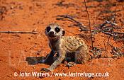 Meerkat juvenile (Suricata suricatta) : one juvenile, crouched on sand, next to desert plant, Kalahari, South Africa