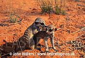 Juvenile Meerkats (Suricata suricatta), two juveniles, playing, Kalahari, South Africa