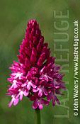 Pyramid orchid (Anacamptis pyramidalis), UK