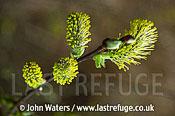 Willow Catkins (Salix caprea), UK
