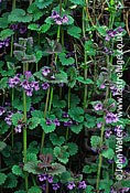 Ground Ivy (Glechoma hederacea), UK
