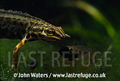 Smooth newt feeding on tadpole, UK