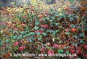 Bramble thicket in November, UK