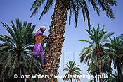 Collecting Palm Dates, Iran