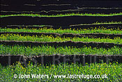 Terraces planted with mustard (for cooking oil), Near Kusma, Nepal, Asia