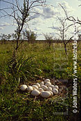 Rhea nest (Rhea americana), North-East Argentina, Argentina