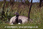 Rhea male incubating (Rhea americana), North-East Argentina, Argentina