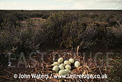 Darwins rhea nest, Patagonia, Argentina