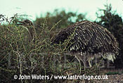 Darwins rhea (Pterocnemia pennata), Patagonia, Argentina