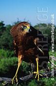 African Harrier Hawk, Zimbabwe