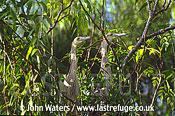 Whistling Herons (Syrigma sibilatrix) (Juveniles & adult), Argentina