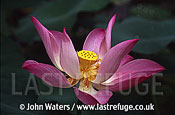 Lotus flower, Java, Indonesia