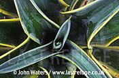 Yucca (Spiny symetry), Texas, USA