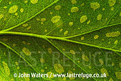 Detail of leaf - Begonia