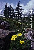 Alpine pasque flower, Italian Alps, Ranunculaceae, Italy