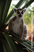 Ring-tailed lemur (Lemur catta), Madagascar: perched on sisal plant, looks to camera