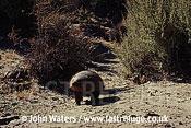 Hairy Armadillo (Chaetophractus villosus), Patagonia, Argentina