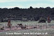 Mara with pups (Dolichotis patagonum), Patagonia, Argentina