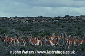Guanacos (Lama guanicoe), herd browsing, scrub bushes, Patagonia, Argentina, South America