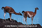 Guanacos (Lama guanicoe), two adults standing, one scratching hind leg, Patagonia, Argentina, South America